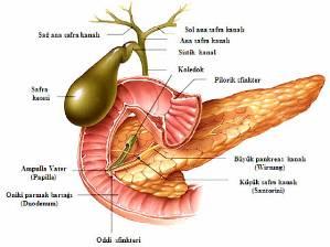 safra_yolu_anatomisi