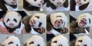 Çin'de yılın ikinci ikiz pandaları doğdu
