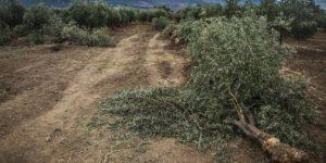 Soma'da yine hukuksuz ağaç kesimi